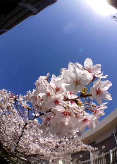 sakura20120401.jpg